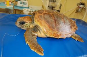 asinara-tartaruga